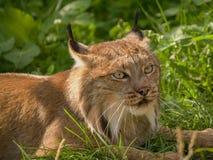 Lynx canadien photographie stock