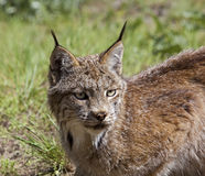 Lynx canadien aux Etats-Unis occidentaux Photographie stock libre de droits