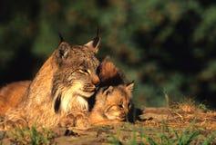 Lynx canadien avec le chaton Image libre de droits