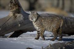 Lynx canadien, canadensis de Lynx Photographie stock libre de droits
