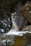 Lynx canadien, canadensis de Lynx Photographie stock
