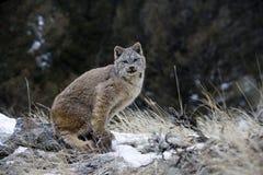 Lynx canadien, canadensis de Lynx Images libres de droits