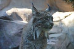 Lynx canadien dans l'extérieur photographie stock libre de droits