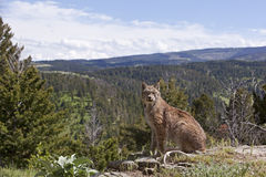 Lynx canadien dans l'horizon de montagne Photos stock
