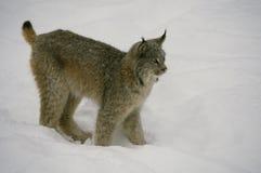 Lynx canadien en hiver Image stock