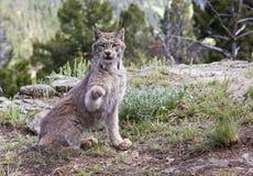 Lynx canadien en montagnes Image libre de droits