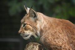 Lynx carpathien (carpathica de lynx de Lynx) photographie stock libre de droits