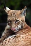 Lynx carpathien (carpathica de lynx de Lynx) images libres de droits