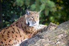 Lynx carpathien menteur, carpathicus de lynx de Lynx image stock
