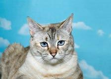 Lynx cat glaring at the camera Stock Images