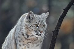 Lynx Cat on the Hunt stock photography