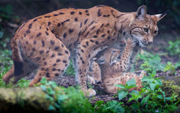 Lynx cat with kittens Royalty Free Stock Photos