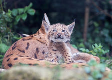 Lynx cat kittens playing royalty free stock photos