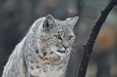 Lynx with Pointy Ears. Lynx cat with pointed ears on the prowl stock images