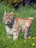 Lynx Cat. Portrait of beautiful Eurasian Lynx Cat standing in high grass, alert Royalty Free Stock Photography