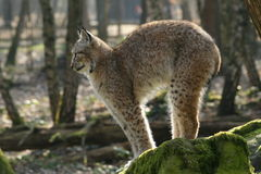 Lynx - cat's arched back. A cat's arched back of a lynx on a rock in the forest Royalty Free Stock Images
