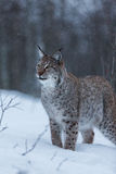 Lynx cat in snowy winter scene, Norway Stock Images