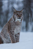 Lynx cat in snowy winter scene, Norway Stock Photography