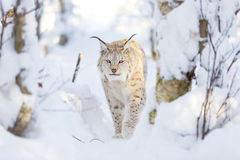 Lynx cat walks in the cold winter forest Royalty Free Stock Photos