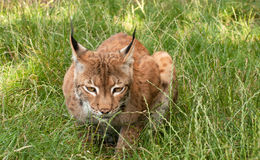 Lynx, chat sauvage, observant, l'appareil-photo Photo libre de droits