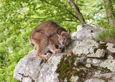 Lynx che cerca preda Fotografia Stock Libera da Diritti