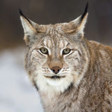 Lynx che esamina macchina fotografica Fotografie Stock Libere da Diritti