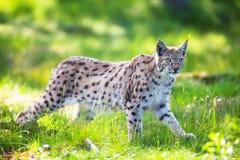 Lynx che rubacchia nell'erba verde Fotografie Stock