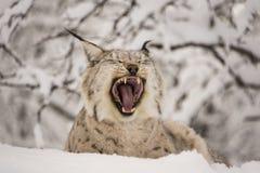 Lynx che sbadiglia Fotografia Stock