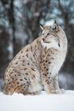 Lynx che si siede nella neve Immagini Stock