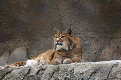 Lynx che si trova sulla pietra Fotografie Stock Libere da Diritti