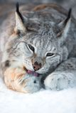 Lynx cleaning paws in snow Stock Photos