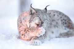 Lynx cleaning paws in snow Stock Photography