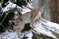 Lynx climb on the wood Royalty Free Stock Photos
