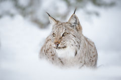 Lynx close-up. A European lynx portrait, taken in Norway Royalty Free Stock Image