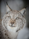 Lynx close-up. A European lynx portrait, taken in Norway Royalty Free Stock Photography