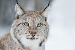 Lynx Close Up Royalty Free Stock Photo