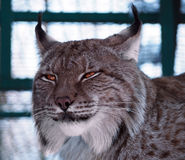 Lynx close up head Royalty Free Stock Image