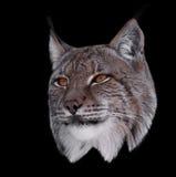 Lynx close up head isolated on black Royalty Free Stock Photos