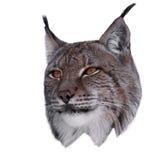 Lynx close up head isolated on white Stock Photos