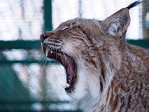 Lynx close up with opened mouth stock image