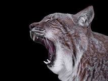 Lynx close up with opened mouth isolated on black Royalty Free Stock Image