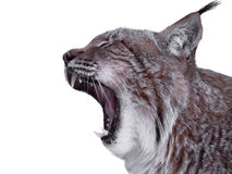 Lynx close up with opened mouth isolated on white Stock Image