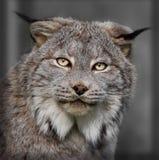 Lynx closeup Royalty Free Stock Image