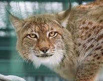 Lynx con il ritratto luminoso degli occhi Fotografia Stock Libera da Diritti