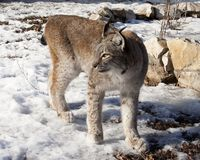 The lynx costs on snow. In the cold winter Royalty Free Stock Image