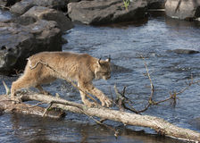 Lynx Crossing the River on a Log Stock Photo