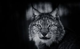 Lynx in snow winter forest. Lynx crouched in the snow winter forest seeing the next production Stock Photos