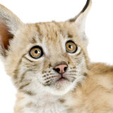 Lynx cub (2 mounths). Lynx cub in front of a white background Royalty Free Stock Images