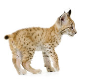 Lynx cub (2 mounths). Lynx cub in front of a white background Royalty Free Stock Image