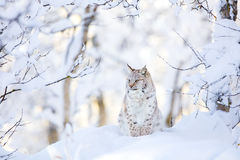 Lynx cub in the cold winter forest Stock Photography